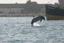 Pisco, ein GRD-Patendelfin aus Peru von Gesellschaft zur Rettung der Delphine e.V.